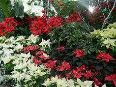 Allan Gardens Conservatory Christmas Flower Show 2012