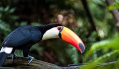 Did you know that toucans regulate body temperature by adjusting the flow of blood to their beak?