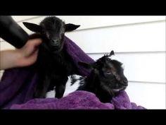Newborn Baby Goats Have Their First Bath...And It Is Absolutely Adorable - http://www.creepyglobe.com/creepy/newborn-baby-goats-have-their-first-bath-and-it-is-absolutely-adorable/