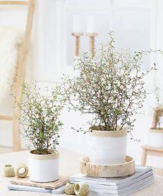 Sophora prostrata Little Baby Plants For Planters, House Plants Decor, Indoor Plants, Diy Plante, Belle Plante, Decoration Plante, Gnome Garden, Plant Design, Flower Pictures