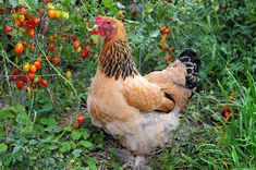 Every chicken loves tomatoes, even this city chick, Sarah, a Buff Brahma. Photos courtesy of Jean Blackburn.