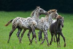 Foal Games ~ Double Forest Ranch Foundation Appaloosa