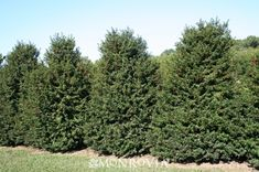 Monrovia's Red Beauty® Holly details and information. Learn more about Monrovia plants and best practices for best possible plant performance.