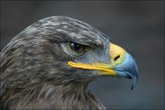 Tawny Eagle by Gerardo Mandiola
