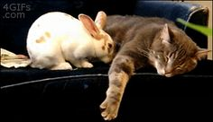 Cat and Rabbit cute animals rabbit cat cats adorable animal kittens pets gifs…