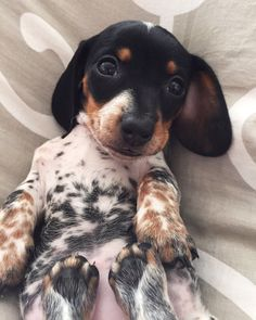 'Moo' - Adorable Little Reese the Miniature Dachshund Puppy