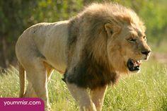 world's most dangerous animals Lion Africa 2015 2016 Best website most dangerous animals in the world Canada Africa Australia 2014 http://www.yoummisr.com/photos-worlds-dangerous-animals-lion-africa-2014/