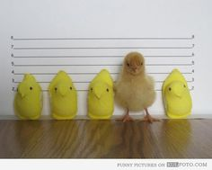 Chicken perp - Funny chicken mugshot standing in police line with other suspects.