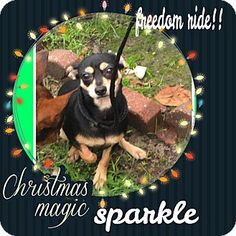Vancouver, BC - Miniature Pinscher/Chihuahua Mix. Meet Sparkles, a dog for adoption. http://www.adoptapet.com/pet/14925067-vancouver-british-columbia-miniature-pinscher-mix