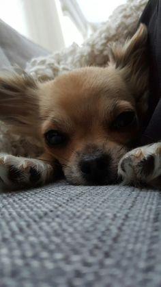 Chihuahua ♡