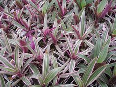 """Tricolor Rhoeo. Rhoeo spathacea """"Tricolor"""" is an interesting, drought-tolerant plant with small sword-like leaves which form a rosette of white, pale pink, and green leaves with purple undersides. It adds a nice textural accent to the garden in partial to full-sun settings.The better the sun exposure the better the color. It grows 12 to 24 inches tall and wide. Use as a border plant or ground cover, or as a container plant."""
