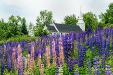 Church in Sugar Hill -  Nature photography, landscape, lupine, church, spring, summer, fine art print, New Hampshire, New England photograph