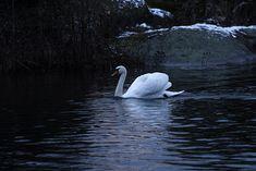 Lomarenkaan mökillä Porkkalannkemessä voi nähdä talvellakin joutsenia.   #arthurs #lomarengas #porkkalanniemi #kirkkonummi #finland #finnishnature