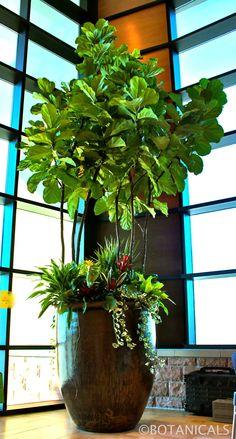 Huge Fiddle Leaf Fig. Indoor Tree. http://www.botanicalsdesign.com/
