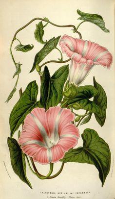 v.8 (1852-53) - Flore des serres et des jardins de l'Europe - Biodiversity Heritage Library