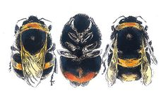 Louise Bird - Bumblebees