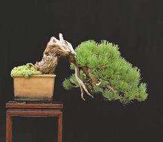 RP: Ponderosa Pine (Pinus Ponderosa)