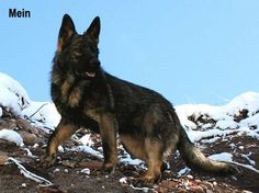 DDR Male German Shepherds - DDR German Shepherds :: East German ...