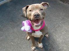 TO BE DESTROYED - MONDAY - 03/24/14- Manhattan Center    CHEETARA - A0993856   FEMALE, GRAY / WHITE, PIT BULL MIX, 4 yrs  STRAY - STRAY WAIT, NO HOLD Reason ABANDON   Intake condition NONE Intake Date 03/13/2014, From NY 10473, DueOut Date 03/16/2014  https://www.facebook.com/photo.php?fbid=772969676049247&set=a.617938651552351.1073741868.152876678058553&type=3&permPage=1