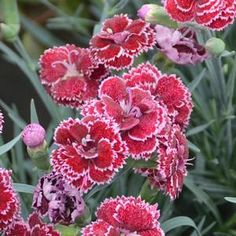 (Pinks)FRUIT PUNCH® Dianthus 'Black Cherry Frost' is a striking addition to the…