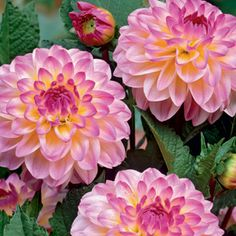 Dahlia Ball- I wish I could have this flower but not because they like a lot sun. Buy Dahlia Ball Bulbs El Paso 1Per Pack | Online Garden Centre