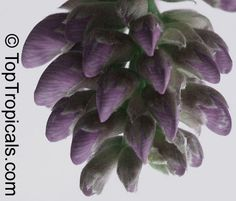 Black Jade Vine | Mucuna nigricans, Black Jade VineClick to see full-size image