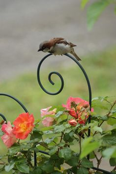 I have quite a large flock of tree sparrows in my garden at the moment enjoying my bird table!  Lovely to watch