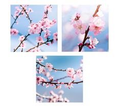 Cherry Blossom sakura photography fine art wall by mylittlepixels, $62.00