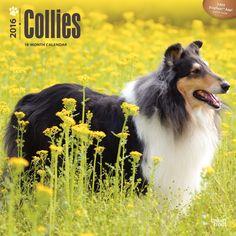 Collie Calendar 2016