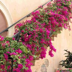 How to Grow Beautiful Bougainvillea  How to grow, care for, fertilize, propagate and much much more. BEAUTIFUL pictures!