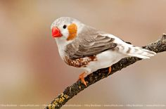 Penguin Zebra Finch-- I would like to find a pair of these.