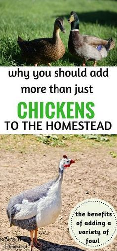 What are the benefits of keeping a variety of fowl on the homestead? Besides farm fresh eggs, there are benefits to adding each variety to your homestead.