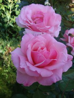 'Billy Graham' | Hybrid Tea rose