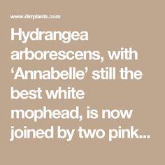 Hydrangea arborescens with annabelle still the best white