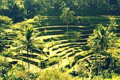 #ubud #ricepaddy