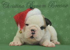 Christmas bulldog puppy