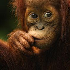 Orang Utan Who you lookin at?