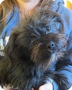 Allentown, PA - Shih Tzu/Poodle (Toy or Tea Cup) Mix. Meet Kami, a puppy for adoption. http://www.adoptapet.com/pet/12014418-allentown-pennsylvania-shih-tzu-mix