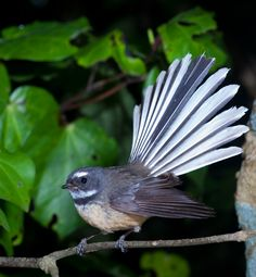 Fantail (pīwakawaka).  Known for its friendly 'cheet cheet' call and energetic flying antics, the aptly named fantail is one of the most common and widely distributed native birds on the New Zealand mainland.