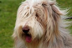 Big Shaggy Dog.. Want!