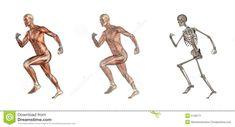Fonctionnement mâle d anatomie