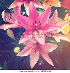 Beautiful Lily flowers with instagram effect by Melissa King, via Shutterstock