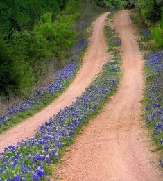 be still my heart! this has to be a Lane in TEXAS with the bluebonnets. I was raised on a little dirt lane like this ....bluebonnets were beside the lane and grass grew in the middle.