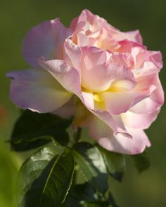 Cotton Candy Pink Peace Rose