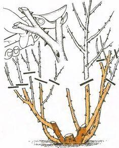 Ha odafigyelünk a rózsáinkra, helyesen gondozzuk, metsszük, akkor sok virággal… Home Vegetable Garden, Fruit Garden, Herb Garden, Garden Plants, Tree Pruning, Bonsai Art, Hybrid Tea Roses, Plant Illustration, Farm Gardens
