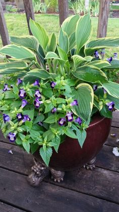 Hosta underplanted with Torenia.  Grows well in morning sun and afternoon shade