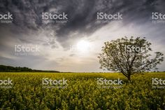 Canola fields in remote rural area royalty-free stock photo