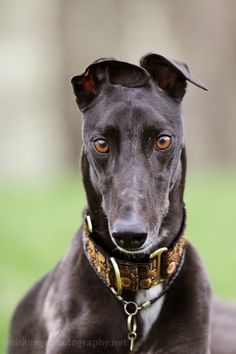my Horse used to have that look ... he was a threat to all other greyhounds and dogs, cats period ... but he mellowed under strict supervision into the 14 yr old sweetheart he is ...