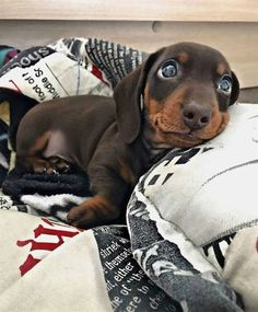 New Ideas Dogs And Puppies Dachshund Dachshund Breed, Long Haired Dachshund, Funny Dachshund, Weenie Dogs, Dachshund Puppies, Dachshund Love, Dogs And Puppies, Doggies, Dapple Dachshund