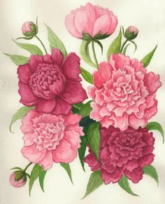 I just learned the peony is the state flower for Indiana.  Drawing by Mike Sherer from the Indiana Historical Bureau website.